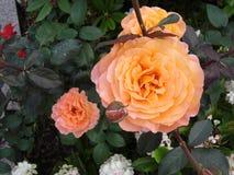 桔子玫瑰顶视图 免版税库存图片
