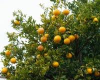 桔子用在树的下落水 免版税图库摄影