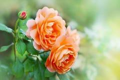 桔子花在夏天庭院里上升了 英国大卫奥斯汀的罗斯埃玛哈密尔顿夫人 库存照片