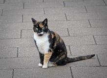 桔子虎斑猫 免版税库存照片