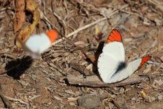 桔子被打翻的蝴蝶 免版税库存照片
