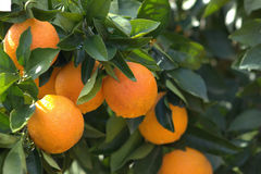 桔子,分支橙树 免版税图库摄影