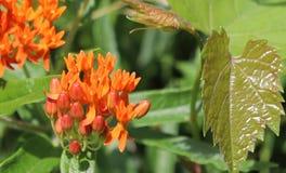 桔子,花,绿色,叶子,外面 库存图片