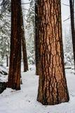 桔黄色吠声树干在雪引人注意 免版税库存图片