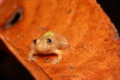 桔黄色双被察觉的飞行的青蛙 免版税库存图片