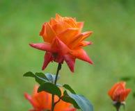 桔黄色玫瑰特写镜头  免版税库存照片