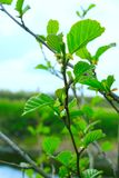 桤木分支在春天 免版税图库摄影