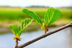 桤木分支在春天 免版税库存图片