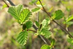 桤木分支在春天 库存图片