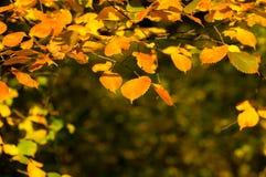 桤木叶子和分支在日落在秋天 库存照片