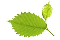 桤木叶子结构树 免版税库存照片