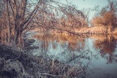 桤木和它的反射在湖在早期的春天 唤醒本质 免版税库存图片