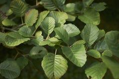 桤木属glutinosa树分支  库存图片