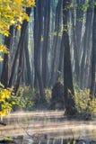 桤木树丛 图库摄影