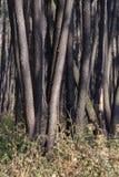 桤木树丛 免版税库存图片