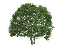 桤木桤木属 库存图片