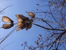 桤木桦树干燥黄色种子以冬天天空蔚蓝为背景的 库存照片