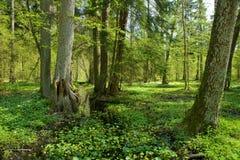 桤木横穿小森林的河 图库摄影
