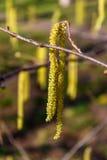 桤木灌木耳环在围场 免版税库存图片