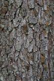 桤木的吠声 免版税库存图片