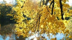 桤木的黄色叶子在湖被反射在公园,金黄秋天 影视素材