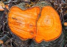桤木黑色环形结构树 免版税图库摄影