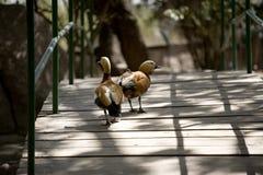 桥梁低头步行者 库存照片