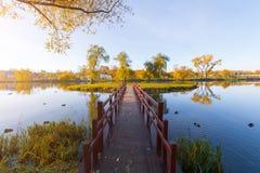 桥梁到小海岛 明亮的下落的叶子在晴朗的天气的秋天森林里在湖附近 秋天槭树 黄色自然后面 免版税库存照片