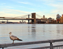 桥梁布鲁克林海鸥 库存图片