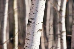 桦属桦树木头 免版税库存图片