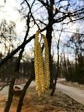 桦属 两足动物 在天空蔚蓝背景的耳环型桦树排 免版税库存图片