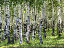 桦属 桦树森林在夏天 免版税图库摄影