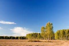 桦木森林 免版税图库摄影
