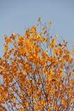 桦树。 秋天。 免版税图库摄影