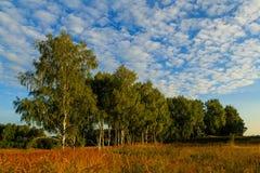 以桦树为目的草甸在背景中 免版税库存图片