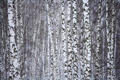 桦树俄国冬天木头 免版税图库摄影