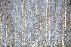 桦树充分的框架 免版税库存照片
