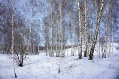 桦树光秃的树在多雪的小山增长,反对蓝天 免版税图库摄影