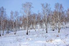 桦树光秃的树在多雪的小山增长 库存图片