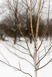 年轻桦树冬天 图库摄影