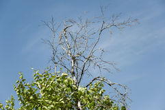 桦树分支与叶子和无在与蓝天的背景 夏天对比对面 库存照片
