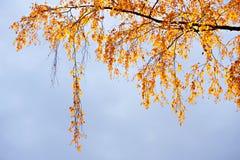 桦树分支与在天空背景的黄色叶子 免版税库存图片