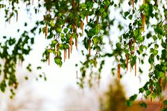 桦树分支与耳环的 背景 图库摄影