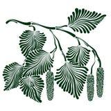 桦树分支与芽的 库存图片