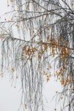 桦树分支和叶子在10月 免版税库存照片