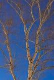 桦树分支和蓝天 免版税库存图片