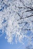 桦树分支在霜的 库存照片