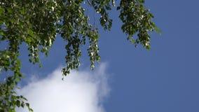 桦树分支摇摆在夏天风蓝天背景中 4K 股票视频