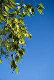 桦树分支结构树 免版税库存照片