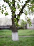 桦树分支 免版税库存图片